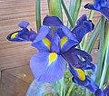 花菖蒲(玉蟬花) Iris kaempferi (Iris ensata) -香港公園 Hong Kong Park- (14666895416).jpg