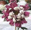 菊花-背紅十八 Chrysanthemum morifolium 'Back Red Eighteen' -香港圓玄學院 Hong Kong Yuen Yuen Institute- (12064619355).jpg