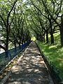 葉桜のトンネル-2013 - panoramio.jpg
