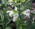 藥用鼠尾草 Salvia officinalis -巴黎植物園 Jardin des Plantes, Paris- (9237481931).jpg