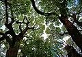 見上げるクスノキ - panoramio.jpg