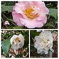 連蕊茶雜交 Camellia (lutchuensis x japonica) cultivars -深圳園博園茶花展 Shenzhen Camellia Show, China- (9204847227).jpg