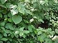 ... foliage (4047434390).jpg