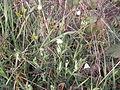 000002 Weißblühende Blumen unbekannt.JPG