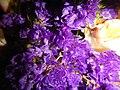09621jfClose-ups of Limonium Alstroemeria flowersfvf 05.JPG