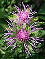 0 Centaurea uniflora - Centaurée à un capitule.JPG
