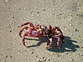 101118 Red ghost crab Gnaraloo Bay Rookery.JPG