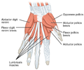 1121 Intrinsic Muscles of the Hand Superficial sin.png