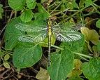 14 05 2015 Gomphus vulgatissimus - Common Clubtail - Gemeine Keiljungfer 03.jpg