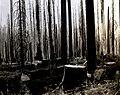 1938. Felled and bucked fire-killed Douglas-fir left un-logged due to excessive Criocephalus damage. Flora Logging Company Operation. Tillamook Burn, Oregon. (33635249410).jpg