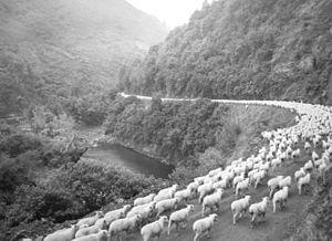Waioeka River - Image: 2,600 sheep on the road, Waioeka Gorge, after a 60 mile drive (3308575250)