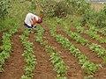 2005 0316 Dry bean.jpg
