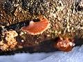 2010-02-26 Panellus ringens (Fr.) Romagn 79654.jpg