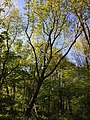 2013-05-04 17 24 28 Liriodendron tulipifera in the woods along the West Branch Shabakunk Creek near Dunmore Avenue.jpg