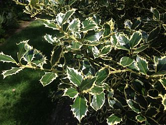 Ilex aquifolium - One of several variegated cultivars