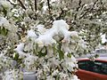 2015-04-08 07 45 46 A wet spring snow on Crabapple blossoms along Railroad Street in Elko, Nevada.jpg