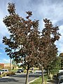 2015-09-26 09 17 36 White Ash with foliage beginning to change color for autumn along Wiley Post Way in Salt Lake City, Utah.jpg
