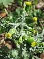 20150418Senecio vulgaris4.jpg