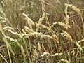 20150628Anthoxanthum odoratum3.jpg