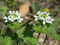 20160421Alliaria petiolata1.jpg