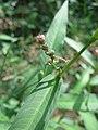 20160821Persicaria hydropiper2.jpg
