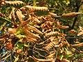 20160911Carpinus betulus2.jpg