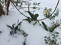 2017-03-14 09 22 46 Garden with blooming purple crocuses and King Alfred Daffodils coated in snow and ice pellets along Tranquility Court in the Franklin Farm section of Oak Hill, Fairfax County, Virginia.jpg
