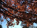 2017-11-23 14 01 38 View up into the canopy of a Pin Oak in late autumn in Franklin Farm Park in the Franklin Farm section of Oak Hill, Fairfax County, Virginia.jpg