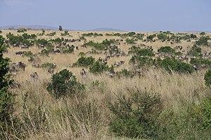 Kenya Wildebeest Migration Best Tours