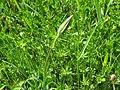 2018-05-13 (232) Tragopogon pratensis (Jack-go-to-bed-at-noon) at Bichlhäusl in Frankenfels, Austria.jpg