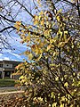 2019-12-03 10 31 18 Yellow leaves on a Euonymus during late autumn in a wooded area along a walking path in the Franklin Glen section of Chantilly, Fairfax County, Virginia.jpg