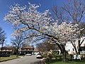2021-03-30 11 53 04 A cherry blooming along Farmbell Court in the Franklin Farm section of Oak Hill, Fairfax County, Virginia.jpg
