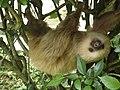 2 toed sloth.jpg