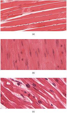 muscle - wikipedia, Muscles