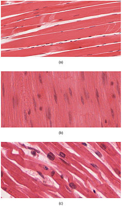 Muscle tissue wikipedia muscle tissue ccuart Images