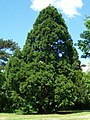 5. Giant Sequoia (Sequoiadendron giganteum) (3607663696).jpg