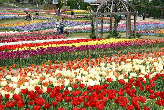 Tulipány sa často vysádzajú v parkoch ako okrasné trvalky