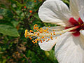 ANTHER OF HIBISCUS.jpg
