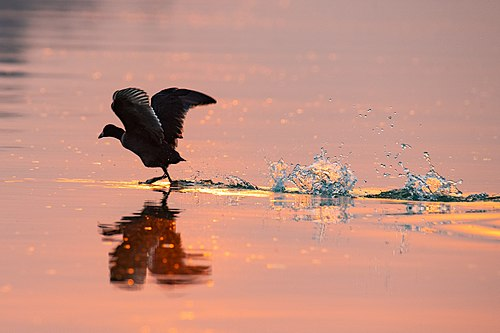 A Coot's Scoot.jpg