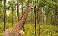 A Giraffe at Bangabandhu Sheikh Mujib Safari Park.jpg