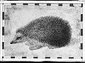 A Hedgehog (Erinaceus roumanicus) MET 043.2r1 99K.jpg