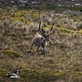 A Reindeer gallops by snoozing Gentoo Penguins (5751785004).jpg