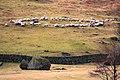 A Ring of Sheep - geograph.org.uk - 1185571.jpg