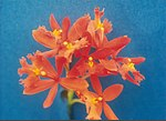 A and B Larsen orchids - Epidendrum radicans orange 216-2.jpg