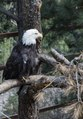 "A bald eagle at the Cheyenne Mountain Zoo in Colorado Springs, Colorado. They are not actually bald; the name derives from an older meaning of ""white headed,"" from the word ""piebald,"" applied to LCCN2015633989.tif"