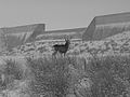 A buck scopes out the snow-covered Pueblo Dam. (15718201454).jpg