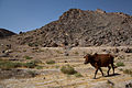 A bull walks at the foot of a mountain during the construction of a dam near Combat Operating Post Mizan in Zabul, Afghanistan, July 1, 2011 110701-A-UJ825-009.jpg