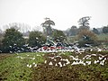 A field of seagulls - geograph.org.uk - 615066.jpg