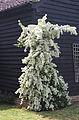 A flowering climbing shrub in Great Waltham, Essex, England.JPG