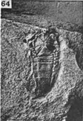 A monograph of the terrestrial Palaeozoic Arachnida of North America photos 60-69 64.png